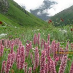 Valley of Flowers