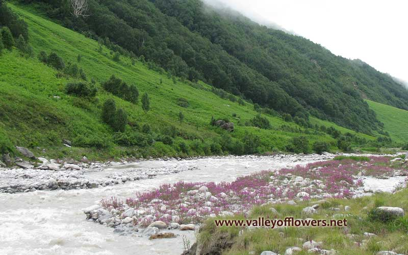 Pushpawati River bed from the other side. The pink shade in the river bed is due to Epilobium Latifolium. This flowers is also called river beauty as it is found generally near the river bed and streams.