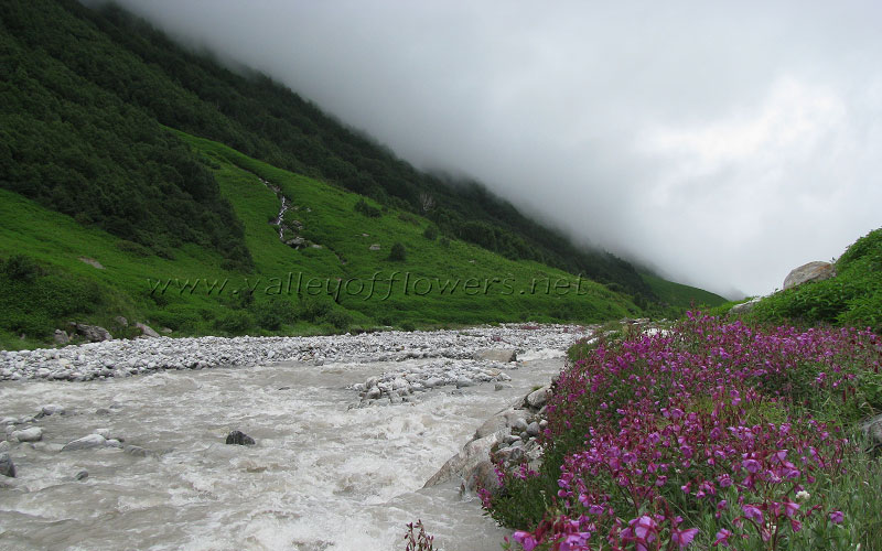 Epilobium Latifolium on the bank of River Pushpawati half kilometer beyond Pushpawati River bed.