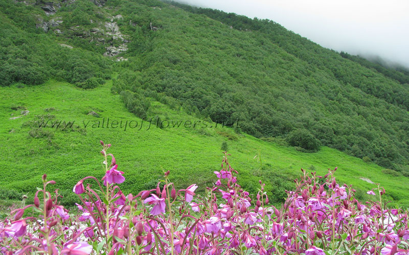 Epilobium Latifolium (pink flowers) and dark green forests of Betula Utilis (Bhoj Patra).