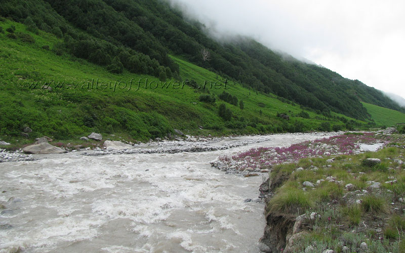 Epilobium Latifolium inside Pushpawati River.